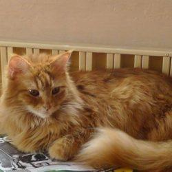 Ztratila se zrzavá kočka – Praha 8, Kobylisy