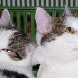 Tito bílomourovatí kocouři sice vypadají jako sourozenci, ale není tomu tak