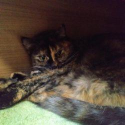 Ztratila se kočka Líza (dříve Andromeda)